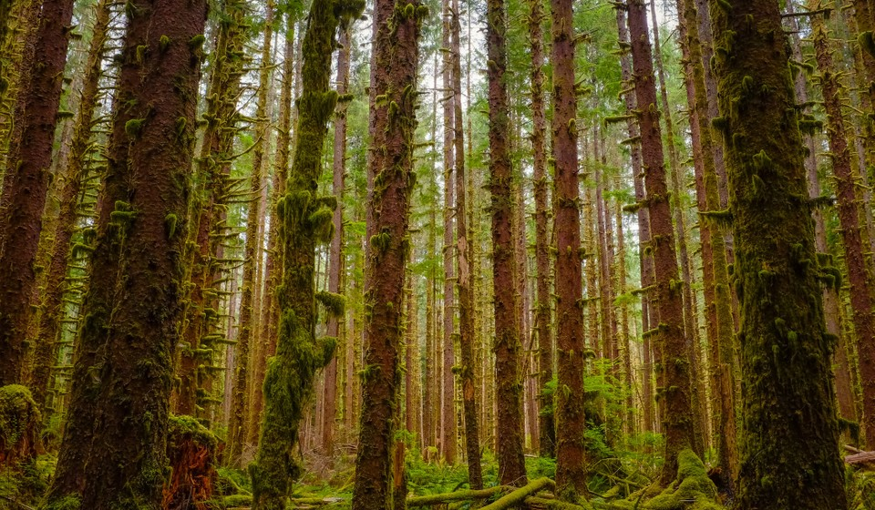 Tall trees in the Hoh Rainforest