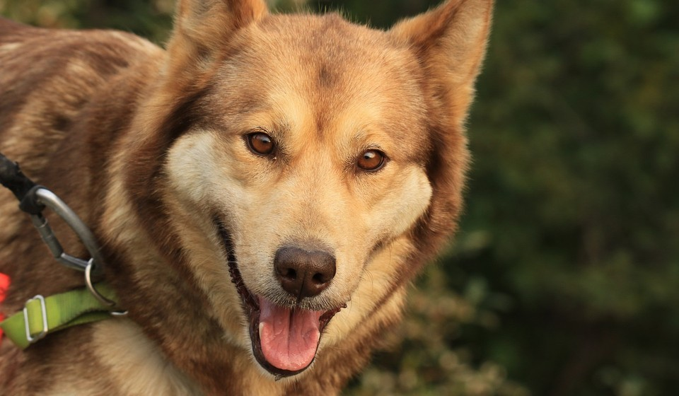 Sled dog with green collar