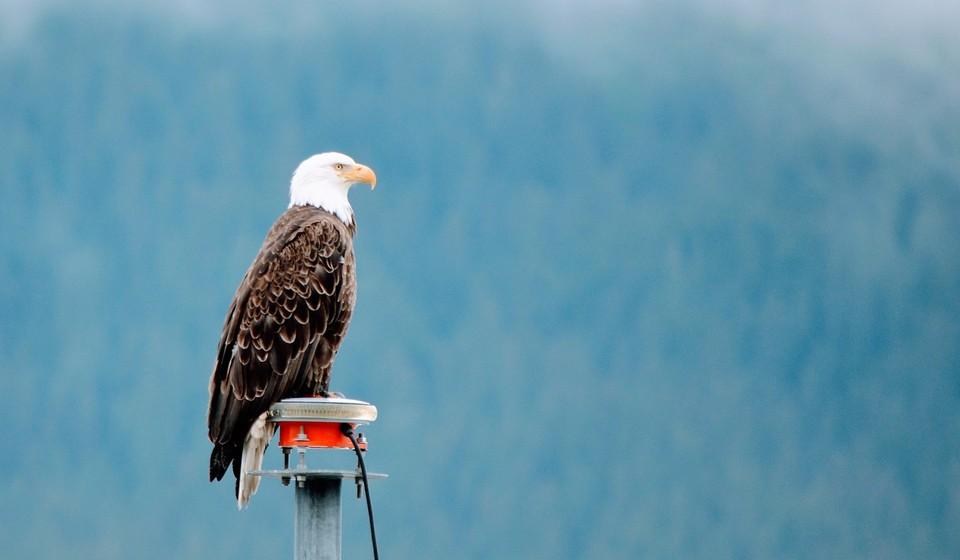 Bald eagle on a buoy in Kenai Fjord