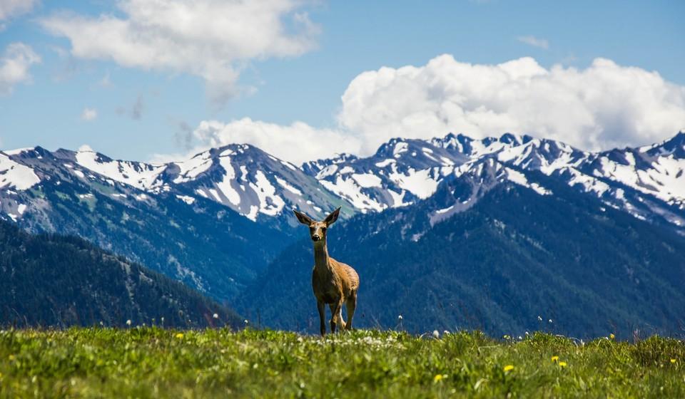 Deer walking in a field in front of mountains