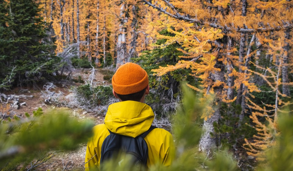 Views of golden larches on a hike