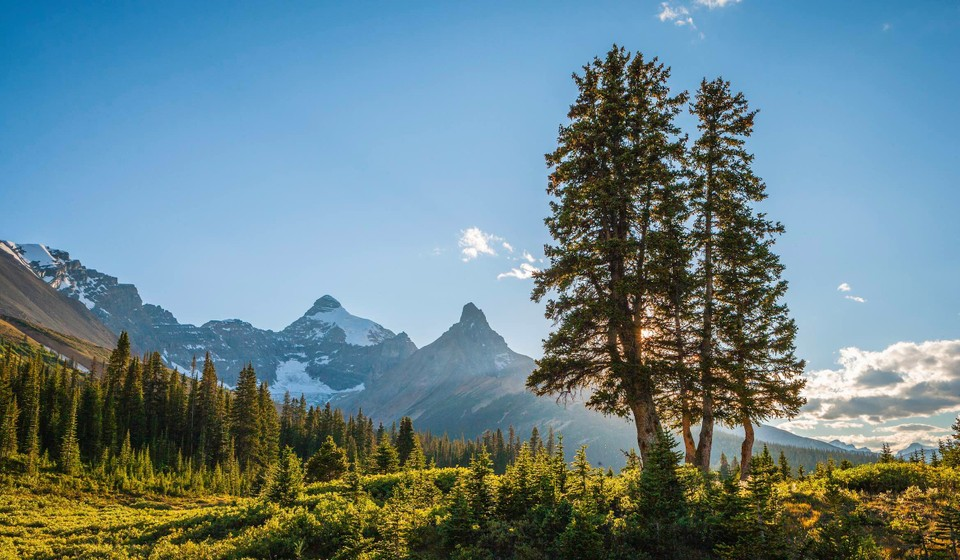 Conifer trees and mountains in Jasper National Park.