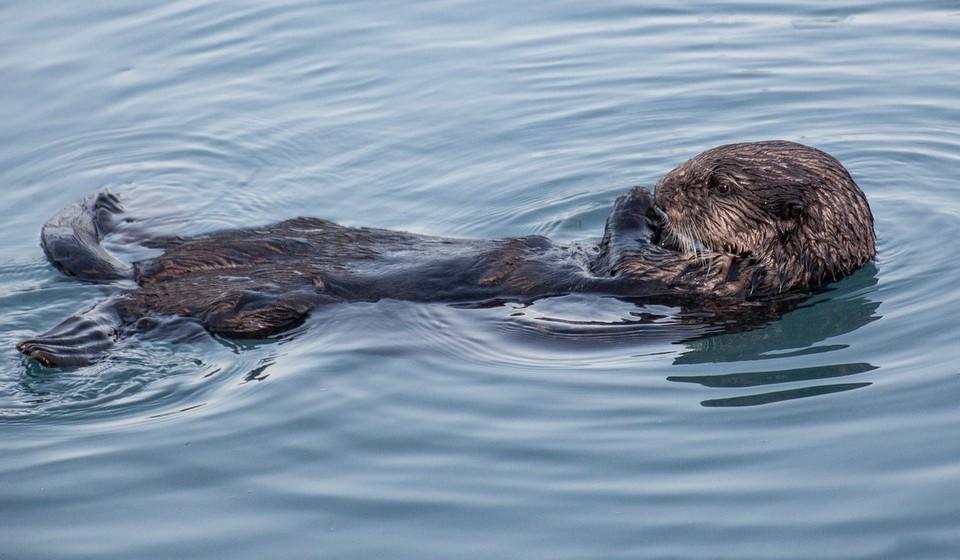 Beaver floating on back